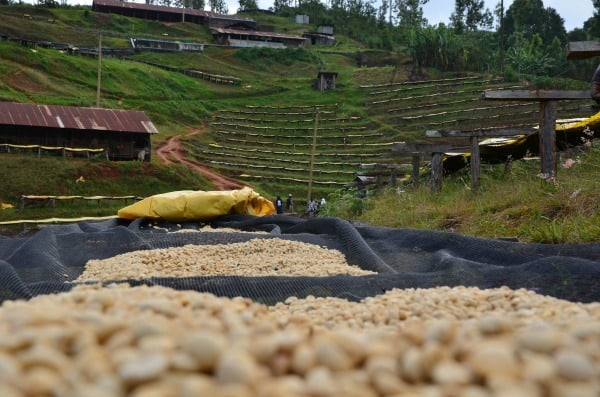 Kenya Thimu AA -- sweet notes of Blackcurrant, Tamarillo and Maple Syrup
