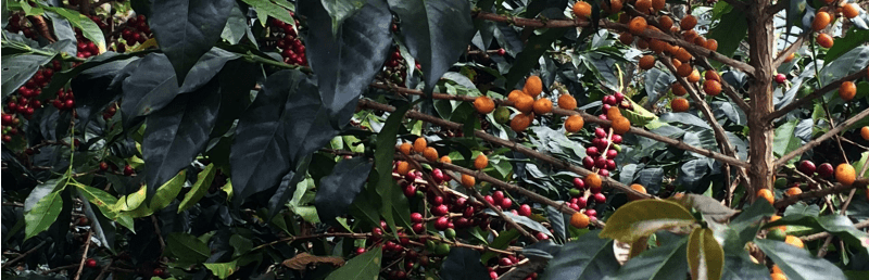 La Palma – Peruvian Coffee with Hints of Floral, Stonefruits, and Berries