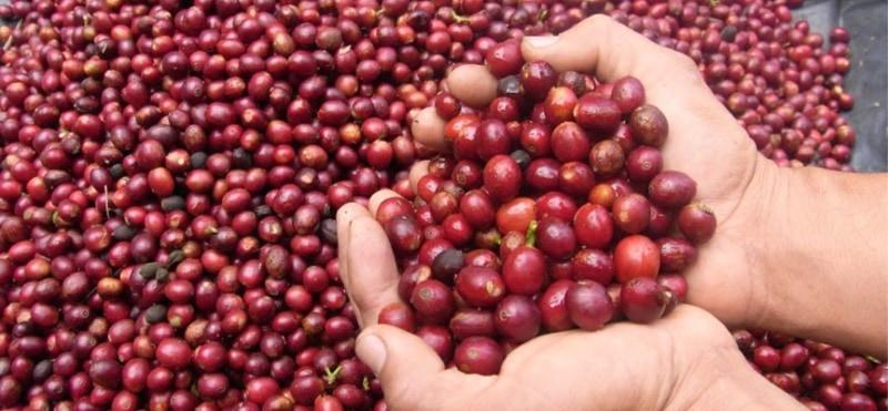 El Salvador Bosque Lya – coffee with hints of hazelnut, plum, and milk chocolate