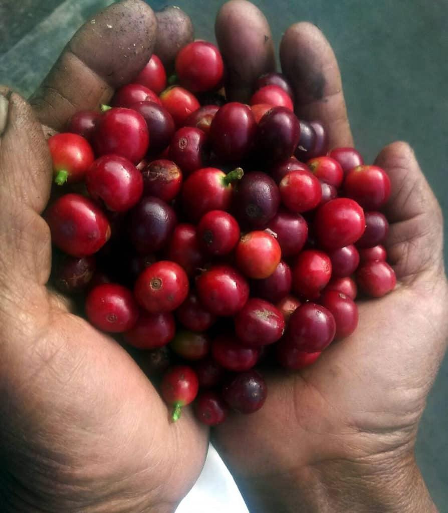 Tayronaca Organic - Colombia