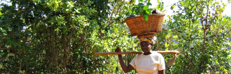 Mzuzu Women's AA – Malawi Coffee with Notes of Baking spices and Dried fruit